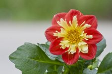 Free Dahlia In The Sunlight Royalty Free Stock Image - 54476246