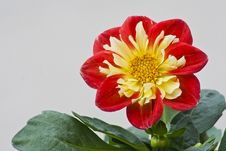 Free Dahlia In The Sunlight Stock Photos - 54476253