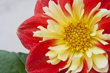 Free Dahlia In The Sunlight Stock Photos - 54476283
