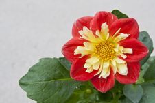 Free Dahlia In The Sunlight Stock Photography - 54476292