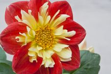 Free Dahlia In The Sunlight Stock Images - 54476294