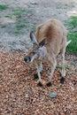 Free Red Kangaroo Royalty Free Stock Photos - 5450038