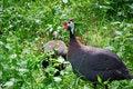 Free Male Guinea Fowl With Female Stock Image - 5454571