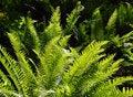 Free Ferns In Sunlight Stock Image - 5454901