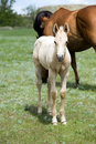 Free Quarter Horse Foal Stock Photos - 5456073
