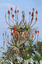 Free Red Hot Poker Aloe Plant Stock Images - 5456164