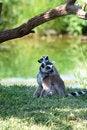 Free Ring-tailed Lemurs Cuddling Royalty Free Stock Image - 5457346