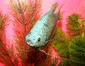 Free Aquarian Fish Marble Gurami Trichogaster Trichopte Stock Photos - 5457363