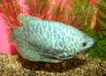 Free Aquarian Fish Trichogaster Trichopterus Royalty Free Stock Photography - 5457647