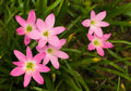 Free Cluster Of Pink Lilies Royalty Free Stock Image - 5459336