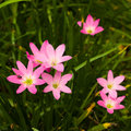 Free Cluster Of Pink Lilies Royalty Free Stock Image - 5459346