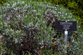 Free English Lavender Stock Photo - 5459800