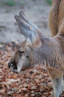 Free Close Up Of A Red Kangaroo Royalty Free Stock Photo - 5450045