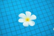 Free Frangipani In Pool Royalty Free Stock Photos - 5450168