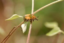 Free Beetles(Oxycetonia Bealiae) Stock Images - 5450504