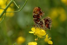 Free Butterfly (Timelaea Maculata Bremer Et Gray) Royalty Free Stock Photo - 5450555