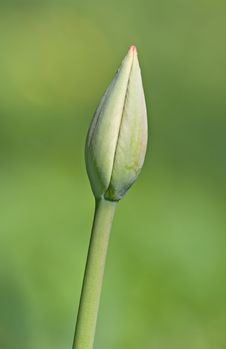 Free Bud Of A Tulip Stock Images - 5450864