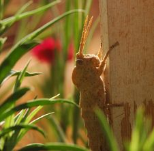 Free Baby Grass Hopper _01 Royalty Free Stock Image - 5452676