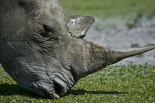 Free Rhinoceros Royalty Free Stock Image - 5452926