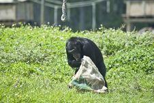 Free Chimpanzee Stock Images - 5452944