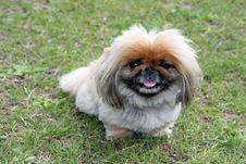 Free Dog Adorable Pekingese Stock Images - 5454044