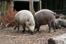 Free Wild Pigs Royalty Free Stock Photos - 5454168