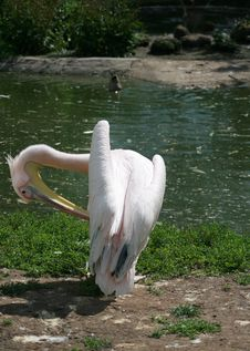 Free Pelican Stock Images - 5454434