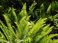 Free Ferns In Sunlight Stock Image - 5454901