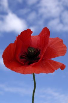 Free Poppy Under Blue Sky Royalty Free Stock Photo - 5455185