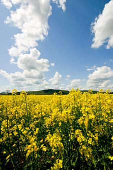 Free Rape Field1 Royalty Free Stock Photography - 5455237