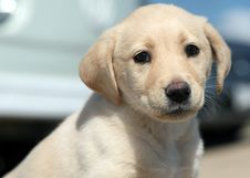 Free Labrador Retriever Stock Photography - 5456772