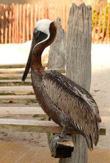 Free Pelican Stock Photos - 5457013
