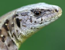 Free Detail Of Lizard Stock Photography - 5457072