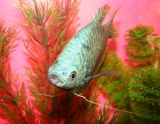 Free Aquarian Fish Marble Gurami Trichogaster Trichopte Stock Photos - 5457363