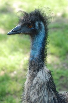 Free Emu Close Up 2 Stock Photography - 5457372