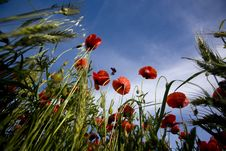 Free Red Poppies In The Summer Stock Images - 5457874