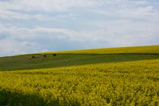 Free Rape Fields Stock Images - 5457994