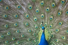 Free Peacock Royalty Free Stock Image - 5458296
