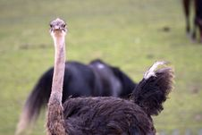 Free Curious Ostrich Stock Images - 5458834