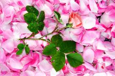 Free Rose Stock Photography - 5459002