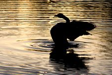 Free Spread-wings Duck Silhouette Stock Images - 5459044