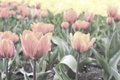 Free Pale Pink Tulips On The Flowerbed Stock Photo - 54502180