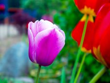 Purple Tulip Closeup Stock Images