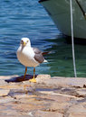 Free Sea Gull - Larus Argentatus Royalty Free Stock Image - 5462206