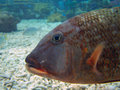 Free Large Marine Fish Under The Sea Stock Photography - 5462232