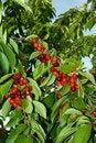 Free Ripe Berries Stock Image - 5462351