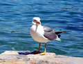 Free Sea Gull - Larus Argentatus Royalty Free Stock Image - 5463276