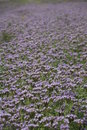 Free Violet Field Background Texture Stock Photography - 5464662