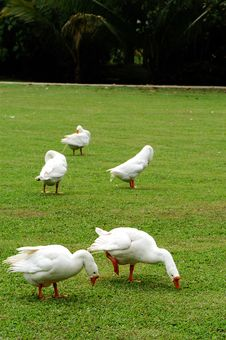Free Flock Of Geese Royalty Free Stock Photography - 5460127