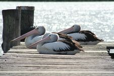 Free Pelicans Three Stock Images - 5460244